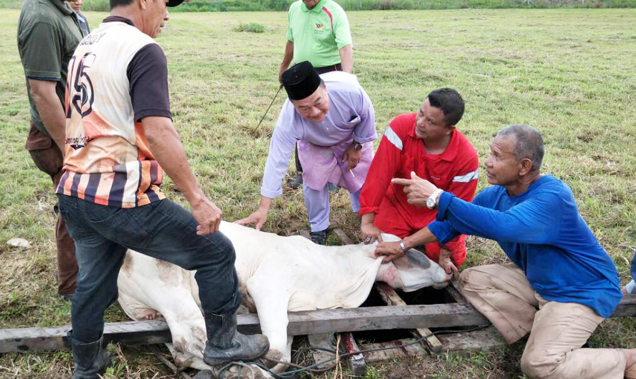 FIVE COWS SLAUGHTERED… Balingian assemblyman Abdul Yakub Haji Arbi (3rd right) officiating at the slaughtering of a cow at the compound of Masjid Darul Taqwa in Balingian on Saturday. Altogether five cows were slaughtered in conjunction with Hari Raya Aidiladha. Two cows were donated by Abdul Yakub, one by Felcra and another two by a group of generous individuals. PHOTO: HENRY SIYU